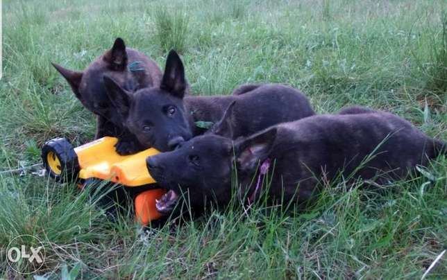 Dutch Malinois Imported From Best Kennels In Europe