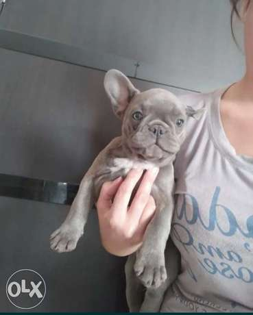 French bulldog blue puppies imported