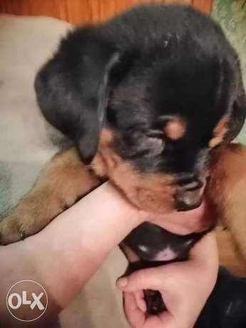 Rottweiler Beasts Available
