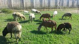 Meatmaster sheep for sale