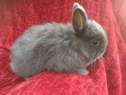 Jersey Woolly Rabbits For Sale