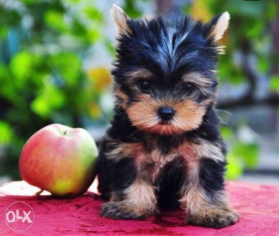 Imported mini Yorkshire puppies, with Pedigree, Passport and microchip
