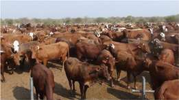 Cattle For Sale Brahman and Heifers in Stcok