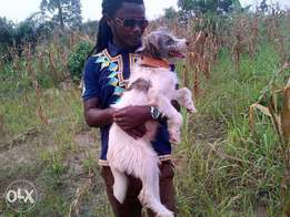 Trained foreign dog for sale