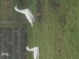 Geese. White