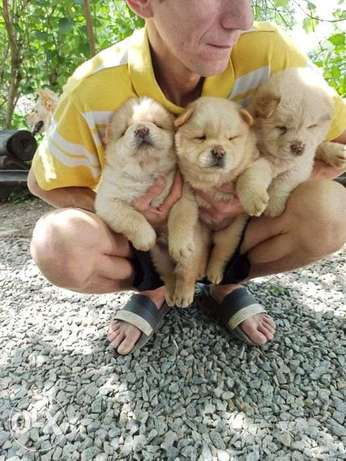 """Imported Chow Chow puppies """"Premium Quality"""""""