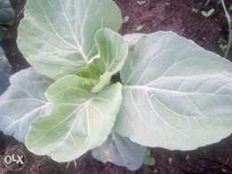Fresh kales known us sukuma wiki. We have 5 acres, and we deliver to