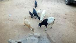 Goat's and sheep's for sale