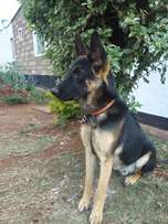 Pure male GSD for sale