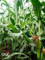 Green maize stocks for making silage