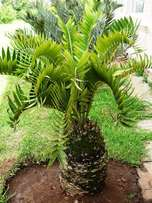 E longifolius cycad for sale