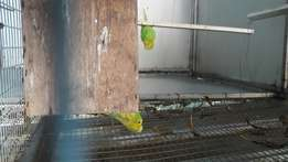 Male show budgies