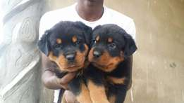 Rott puppy for sale