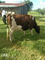 Dairy cows/ Heifers ( pure pedigree)