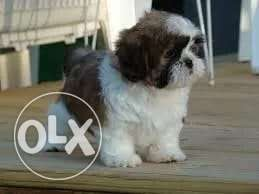 From Ukraine, best imported shih tzu puppies with all documents