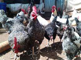 Improved Kienyeji Chicken - Ready for Slaughter