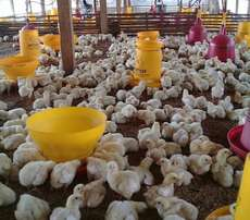 Chicken broilers