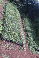 Blue gums seedlings for sale