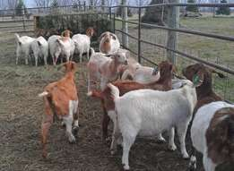 Brown and white goats for sale