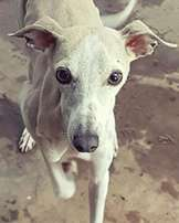 Italian Whippet Puppies For Sale
