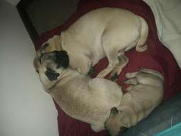Fawn pug pups for sale