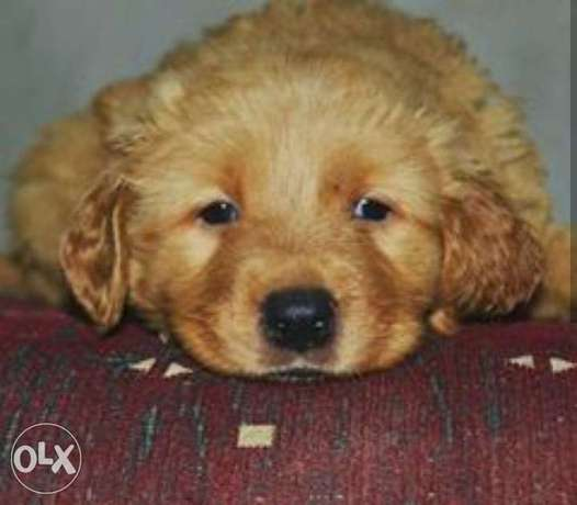 golden retriever puppies for sale.. top quality مدينتي -  1