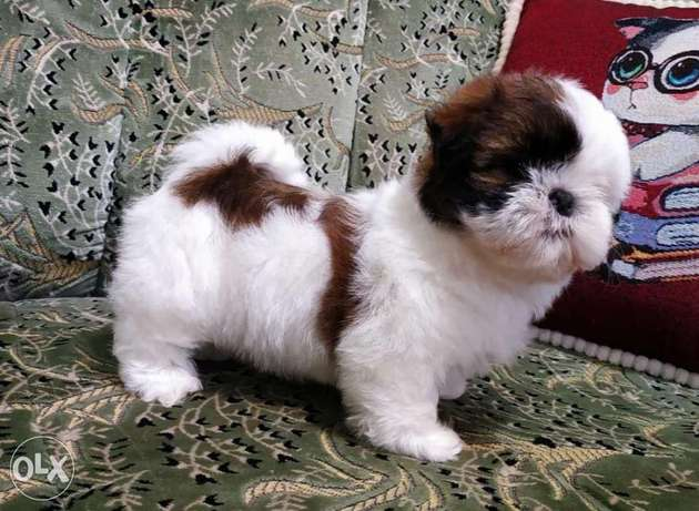 Imported Shihtzu puppies for sale,top quality with Pedigree,All colors مدينة الرحاب -  4