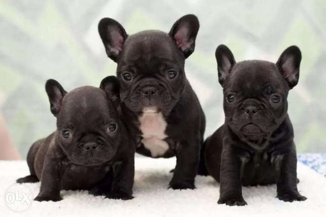 French Bulldog Puppies Imported From Ukraine