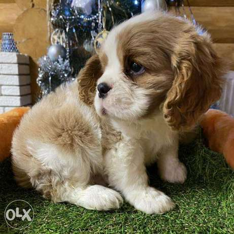 King Charles Spaniel It is possible to reserve or purchase a puppy tod