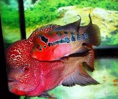Flower Horn Arowana and Koi Fish For Sale