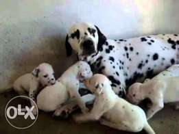 Dalmatian puppies are available for sale