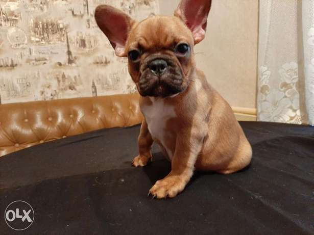 Imported French Bulldog, female.. With Pedigree