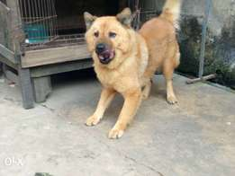 imported Adult female chow chow for sale