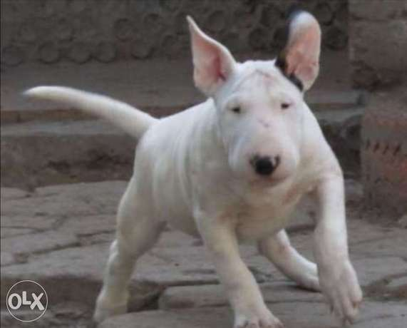 Imported bull terrier puppies with Pedigree and microchip