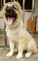 4 Months Old Female Caucasian Puppy