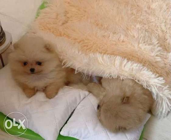 Pomeranian special offers and prices