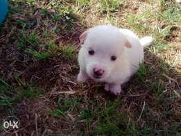 Cute cross Japanese spitz/maltese pupps