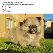 Toypom male for sale