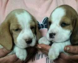 KUSA Registered Beagel Pups Available
