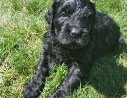 black russian terrier Puppies for sale