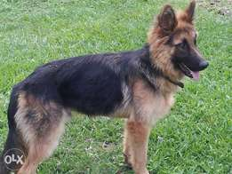 GSD for sale.