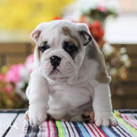 English Bulldog Males From Belarus Ready For Shipping With Best Qualit