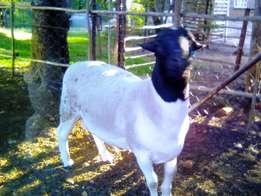 Dorper Ram for sale in Kameeldrift East!