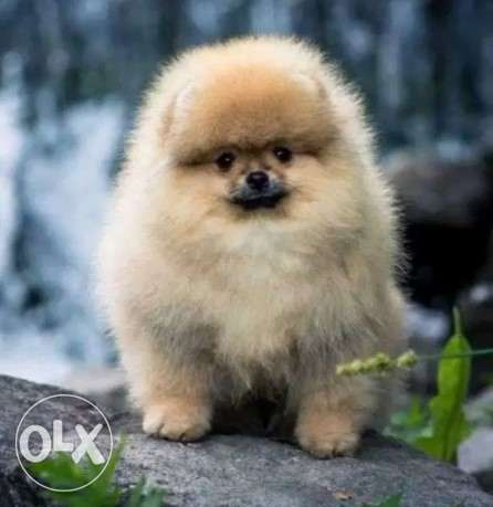 IMPORTED Pomeranian Puppies