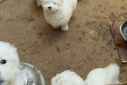 Pure white cute Lhasa apso pups available for sale