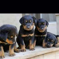 Pure Rottweiler healthy puppies