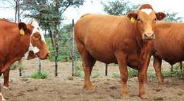 Bonsmaras Quality F1 Crossbreed Cows on Sales opens today