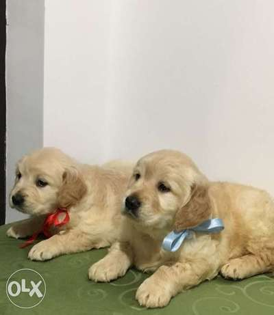 Super Golden Retriever Puppies