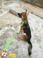 male gsd for sale