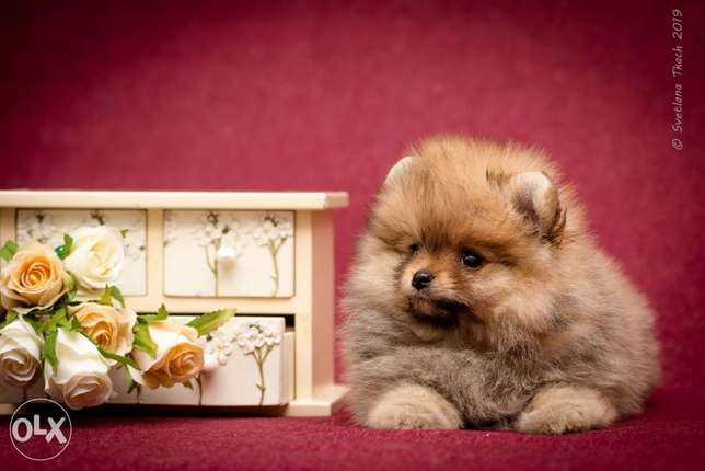 Reserve ur imported teacup pomeranian puppy with Pedigree
